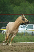 light Brown horse gallops in the paddock. There a bridle on the horse.