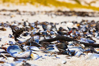 broken Mussel shells washed up on a beach