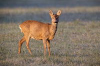 Female roe deer standing on a meadow in winter illuminated by rising sun