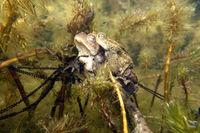 Erdkröten-Paar (Bufo bufo) beim Laichen zwischen Ähren-Tausendblatt (Myriophyllum spicatum) im Gartenteich