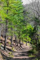 Dirt track through a Pine Forest Plantationin