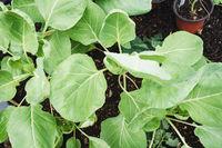 Rosenkohl im Garten