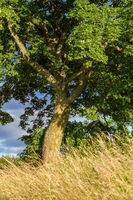 einzelner Baum mir Sommerwiese im Selketal Harz