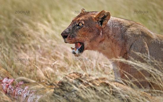 Löwin mit blutigem Gesicht am Riss, Etosha-Nationalpark, Namibia, (Panthera leo)