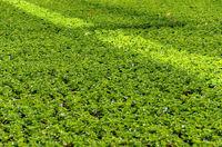 Für den Verkauf vorbereitete grüne Pelargonienpflanzen