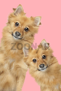portrait of two mixed breed fluffy dogs