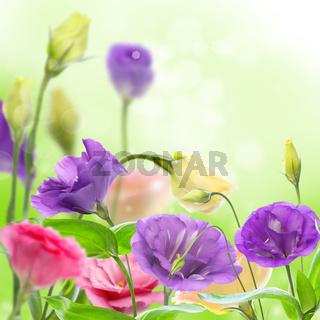 Beautiful flowers eustoma.