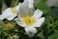 Rosa canina var. alba, Weissbluehende Hundsrose, white-flowering dogrose