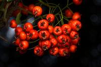 Feuerdorn Fruechte im Herbst
