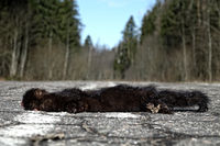 American mink hit by car on forest road