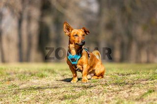 Adorable clever brown small terrier mixed breed dog portrait with one bend ear. Outdoor dog school concept.