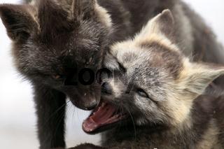 Silver Phase Red Fox Silberfuchs