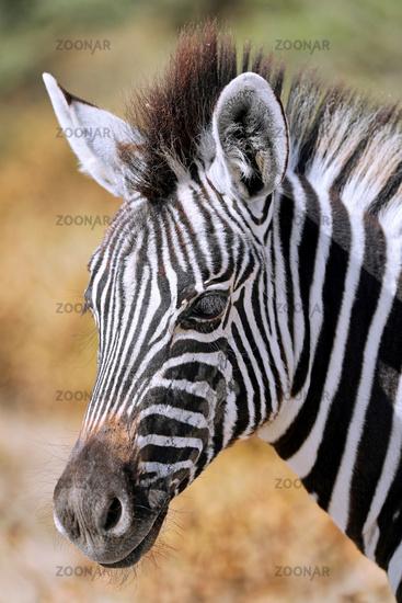 Zebra, Steppenzebra, Etosha, Namibia   Plains Zebra, Etosha NP, Namibia