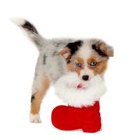 Australian Shepherd puppy wearing Christmas boots isolated
