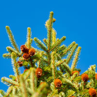 Green branches of fur tree or pine with cones. Selective focus