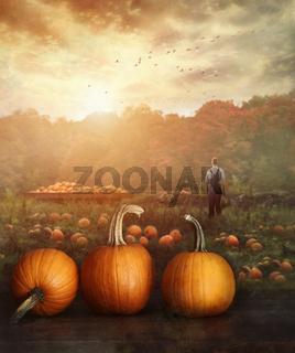 Pumpkins on table in farmer's field