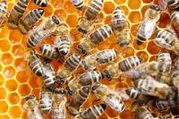 eine Honigwabe mit mehreren Bienen