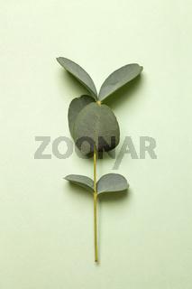 Eucalyptus on green background.