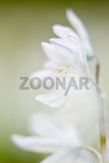 Kegelblume (Puschkinia scilloides)