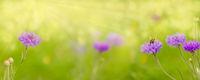 Sommerwiese mit Bkumen und Hummel