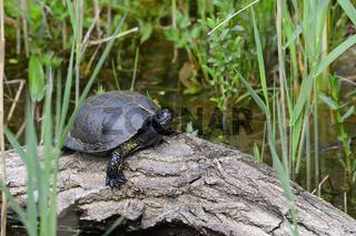 Europaeische Sumpfschildkröte
