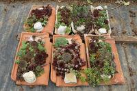 Sempervivum, Hauswurz, houseleeks auf Dachziegel, on tiles