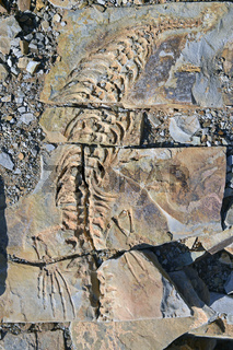 ca. 300 Millionen Jahre alte Fossilien des Mesosaurus tenuidens