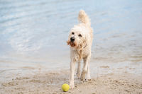 White Labradoodle dog walks on the water's edge. The dry dog walks half on the sandy beach and half in the water, tail up.