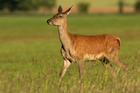 Female red deer walking on a grassy hay field on a sunny day in summer nature