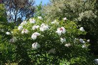 Paeonia suffruticosa, Strauchpfingstrose, shrub peony