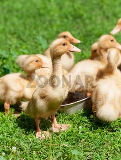 little geese