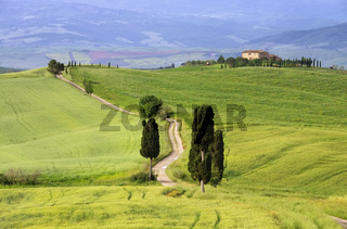 Toskana Zypressen mit Weg - Tuscany cypress trees with track 05
