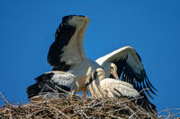 Three white stork Chicks in the nest.