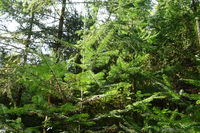 20211002_Abies alba, Weißtanne, silver fir.jpg