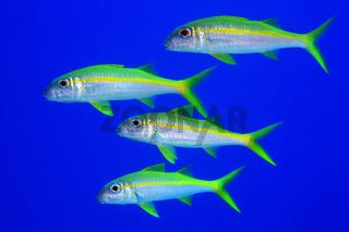 Gelbflossen-Meerbarbe, Yellowfin goatfish, Mulloidichthys vanicolensis