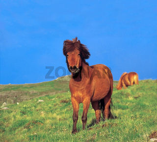 Posierendes Islandpferd