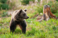 Cute brown bear walking on grassy green meadow in springtime