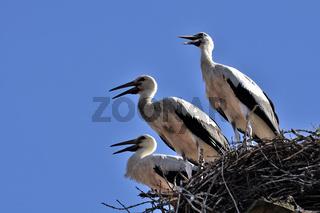 Juvenile White Stork / Jungstörche