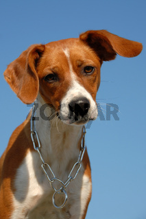 young brittany spaniel