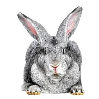 Grey rabbit on white background