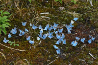 Vogelwicken-Blaeuling (Polyommatus amandus) Maennchen