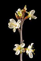 Detailaufnahme von einem Ast des Pflaumenbaumes mit Blüten, Knospen und Blätter freigestellt auf sch
