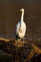 Great egret walking on fallen tree in vertical shot