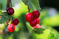 Side view of red currants on a shrub