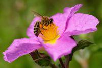 Kretische Zistrose mit einer Biene