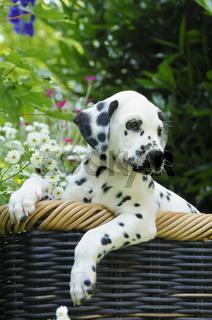Dalmatiner Welpe, sieben Wochen alt