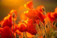 Blooming red poppy flowers