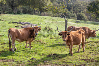 Cachena breed Cows grazing on a green field. Cattle farming, Galicia, Spain