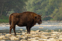 European bison standing on rocks in water in summer