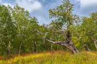 Kamchatka stone birch old tree